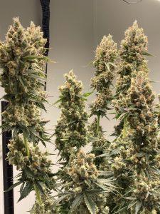Citrus Cream Cannabis