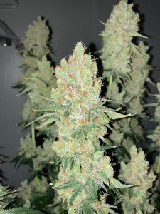 NJ Cannabis Grow License