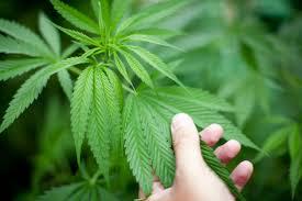 Cannabis Facility Lead Grower