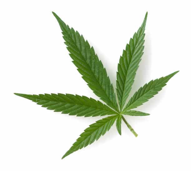 Submit Cannabis Leaf Tissue Samples for Mineral Analysis